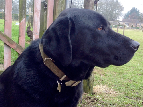designer dog collar for a labrador