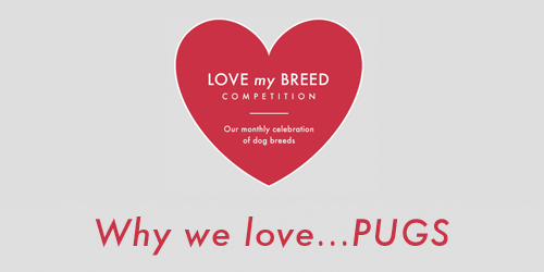 Why we love... pugs